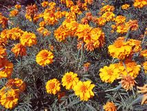 Härliga blommor för en guling royaltyfria foton