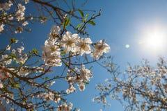Härliga blommor för mandelträd på våren Arkivfoton