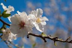 Härliga blommor för mandelträd på våren Royaltyfri Foto