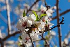 Härliga blommor för mandelträd på våren Arkivfoto