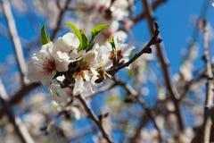 Härliga blommor för mandelträd på våren Fotografering för Bildbyråer