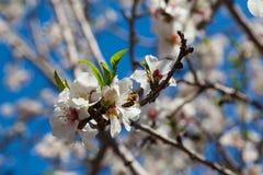 Härliga blommor för mandelträd på våren Arkivbilder