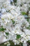 Härliga blommor för rosa färger för träd för äpple vita och på våren förgrena sig Royaltyfria Bilder