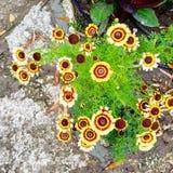 Härliga blommor i Balcic Bulcaria Arkivbilder