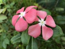 Härliga blommor i Sri Lanka arkivfoton