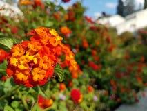 Härliga blommor i staden, stads- natur Fotografering för Bildbyråer