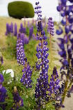 Härliga blommor i sydliga Chile Royaltyfri Foto