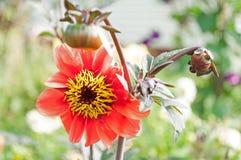 Härliga blommor i trädgård Royaltyfri Bild