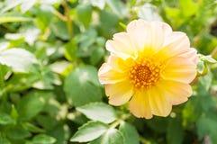 Härliga blommor i trädgård Royaltyfria Bilder