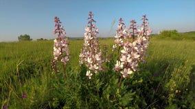 Härliga blommor i vinden på ängDictamnusalbusen arkivfilmer