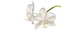 härliga blommor isolerade orchidwhite Arkivbilder