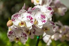 härliga blommor isolerade orchidwhite Fotografering för Bildbyråer