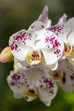 härliga blommor isolerade orchidwhite Royaltyfri Bild