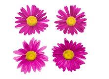 härliga blommor isolerade pink Royaltyfria Foton