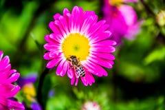 Härliga blommor med biet Arkivbilder