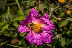 Härliga blommor med biet Fotografering för Bildbyråer