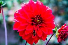 Härliga blommor med biet Arkivfoton