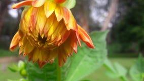 Härliga blommor med mer kronblad arkivfoton
