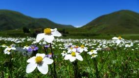 Härliga blommor på denTibet linjen Royaltyfri Bild
