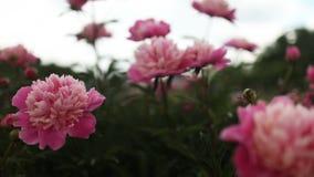 Härliga blommor, pioner Bukett av rosa pionbakgrund stock video