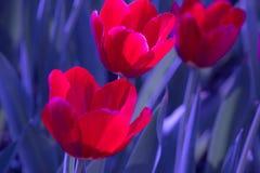 Härliga blommor, röda blommor, röda tulpan Fotografering för Bildbyråer