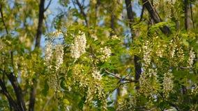 Härliga blommor som blommar akaciacloseupen arkivfilmer