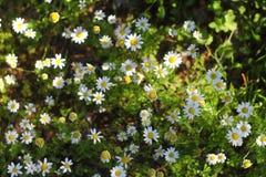 Härliga blommor som blommar i trädgården, Royaltyfria Bilder