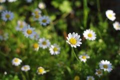 Härliga blommor som blommar i trädgården, Royaltyfri Fotografi