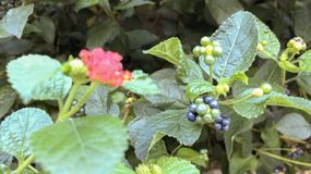 Härliga blommor som blommar på väggen av garden_Ien arkivbild