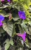 Härliga blommor som blommar på väggen av garden_Ven royaltyfri fotografi