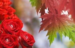 Härliga blommor steg i den trädgårds- närbilden Arkivbilder