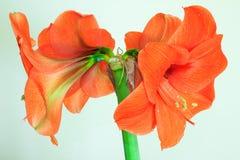 Härliga blomningar av den orange Amaryllis blomman Royaltyfria Bilder