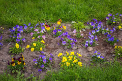 Härliga blomstra penséblommor Royaltyfria Bilder
