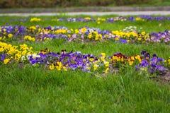 Härliga blomstra penséblommor Fotografering för Bildbyråer