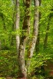 härliga bokträdstammar i vårskog arkivbild