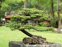 Härliga bonsai i trädgården arkivbilder