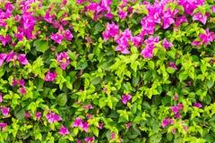 härliga bougainvilleablommor Fotografering för Bildbyråer