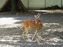 Härliga bruna manliga hjortar Bambi med den vita prickar, svansen och horn Royaltyfria Bilder
