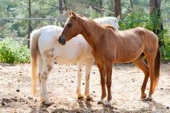Härliga bruna och vita hästar Arkivfoto