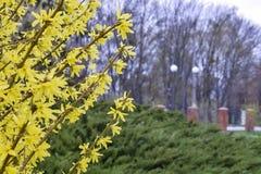 Härliga buch av forsythia med gula blommor Royaltyfria Foton