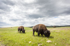 Härliga bufflar i den Yellowstone nationalparken Arkivfoto