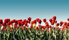 härliga buketttulpan färgrika tulpan tulpan i vår s Royaltyfri Foto