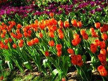 härliga buketttulpan Tulip Flower tulpan i våren, färgglad tulpan Arkivbilder