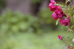 Härliga buskerosor Royaltyfria Bilder
