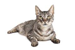Härliga Cat With Sweet Expression på vit Arkivbild
