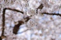 Härliga Cherry Blossom eller rosa Sakura blommaträd i vårsäsong på sjökawaguchikoen, Yamanashi, Japan gränsmärke och populärt royaltyfria bilder