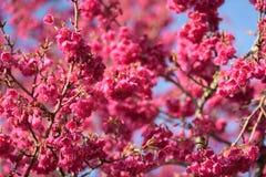 Härliga Cherry Blossom på solskendag i den Alishan nationalparken, Taiwan Royaltyfria Bilder