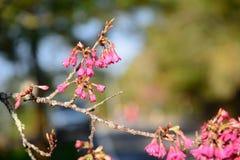Härliga Cherry Blossom på solskendag i den Alishan nationalparken, Taiwan Fotografering för Bildbyråer