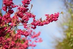 Härliga Cherry Blossom på solskendag i den Alishan nationalparken, Taiwan Royaltyfri Fotografi
