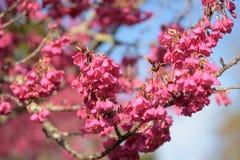 Härliga Cherry Blossom på solskendag i den Alishan nationalparken, Taiwan Arkivfoton